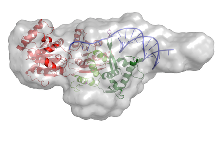 "SAXS envelope of RecQ4 in complex with DNA</span><span style=""font-size: 12px; line-height: 19.2px;\"">"